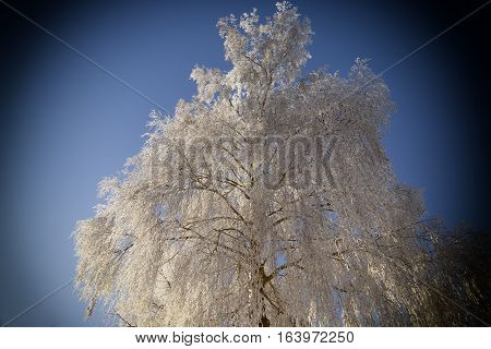 Frozen tree with a rime winter january