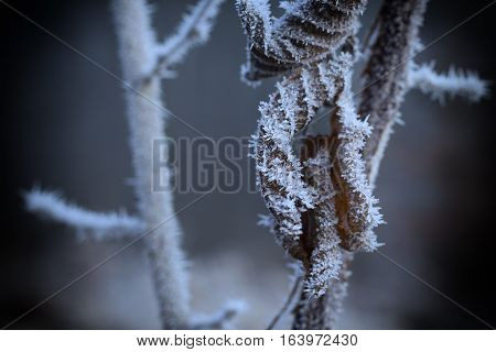 Frozen plant with a rime on leaves winter january