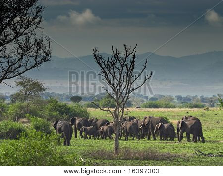 Troop of elephants in african savanna