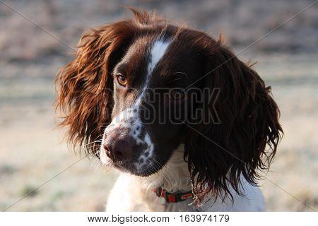 Close Up Of A Working Type English Springer Spaniel Pet Gundog