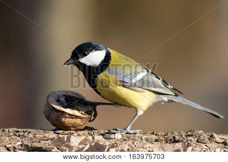 Great Tit (Parus major) a useful garden birds.