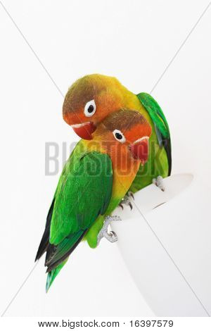 Pair of little parrots lovebirds agapornis-fischeri