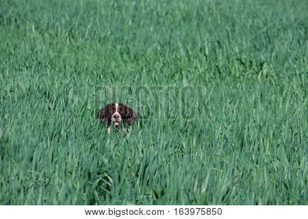 Working Type English Springer Spaniel Pet Gundog In A Field Of Green Crops