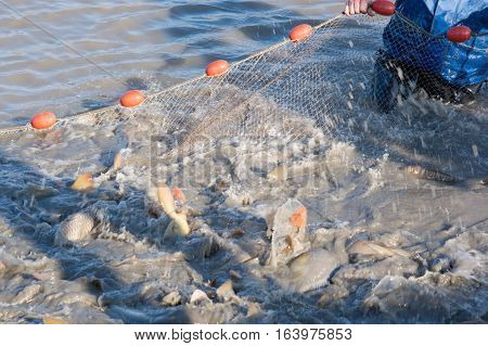 The fishermen's nets would be the carp in the lake.