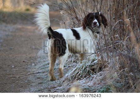 Working Type Liver And White English Springer Spaniel Pet Gundog