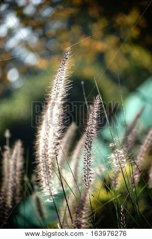 The closeup of Fountain Grass Pennisetum alopecuroides in the backlight. poster