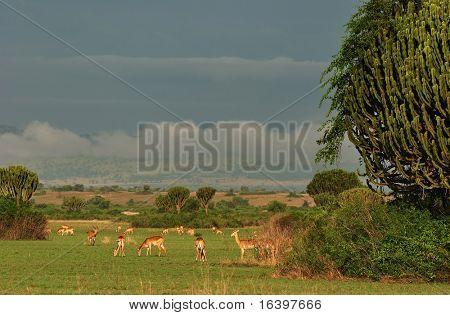 Herd of antelopes in african savanna