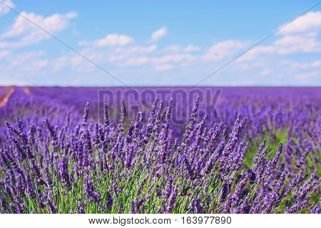 Lavender flower blooming scented fields in endless rows and a blue cloud sky. Landscape in Valensole plateau Provence France Europe.