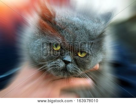 British Fold cat in the hands of the owner.