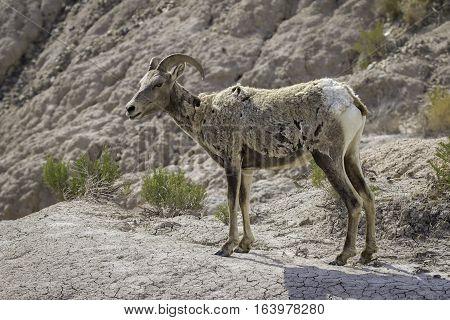 Bighorn Sheep standing Profile in Badlands National Park