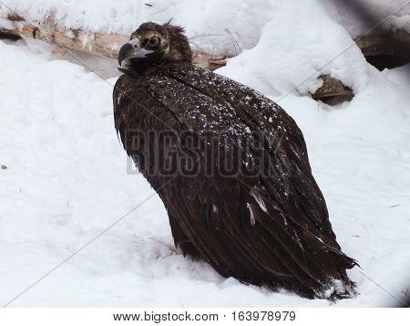 Cinereous vulture (Aegypius monachus) in winter, Novosibirsk, Russia