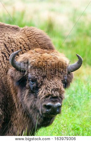 Close up portrait of european bison aurochs in Belovezhskaya Puscha