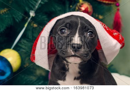 Cute puppy dog with Santa hat on blurred Christmas tree background. American Staffordshire terrier. Merry Christmas and Happy New Year.