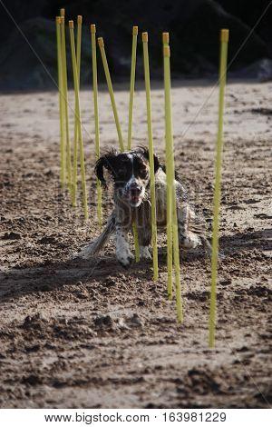 Working Type English Springer Spaniel Pet Gundog Agility Weaving On A Sandy Beach