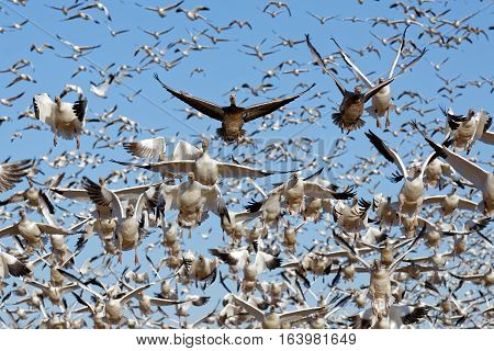 Thousands of migrating Snow Geese ( Chen caerulescens ) fly off from Lancaster County Pennsylvania USA.