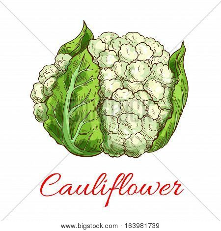 Cauliflower vector isolated vegetable. Vector sketch emblem of green fresh cauliflower head with leaves. Vegetarian and raw food healthy eating and diet icon for grocery shop emblem, farm store design element