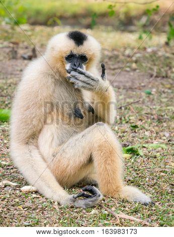 Shy Gibbon