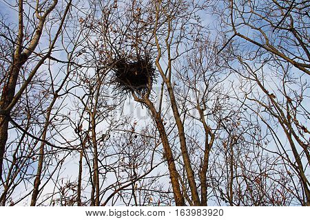 Nest bird magpie Formation in the top of the forest thicket.