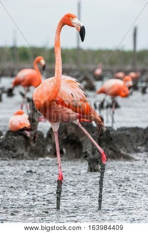 American Flamingos Or Caribbean Flamingos ( Phoenicopterus Ruber Ruber). Colony Of  Flamingo The On