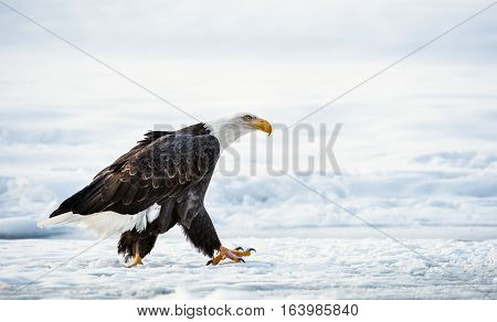 The Adult Bald eagle ( Haliaeetus leucocephalus ) walk on the snow. Alaska