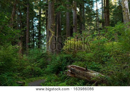 Trail in the Quinault Rainforest in Washington's Pacific Northwest