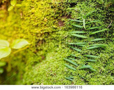Nice Green moss on old root tree texture background and closeup focus at center of the root tree with warm light background