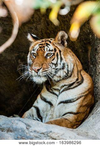 Bengal Tiger Portrait. Panthera tigris tigris. Tiger portrait shot. Picture taken in National Park India