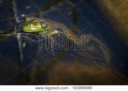 Bull Frog waiting on the surface for bugs in pond water
