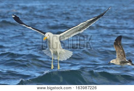 Flying Kelp gull (Larus dominicanus) also known as the Dominican gull and Black Backed Kelp Gull. False Bay South Africa