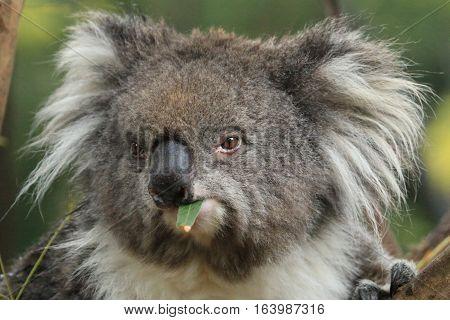 A grumpy koala chews on eucalyptus leaves