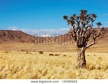 Landscape with quiver tree (Aloe dichotoma), South Namibia