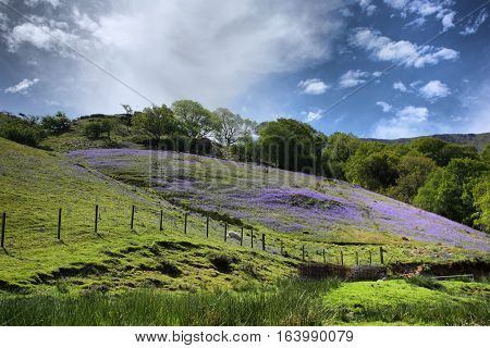 bluebell plants covering a field on a sunny day