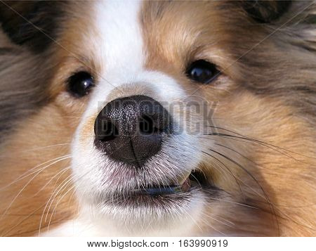 Shetland sheepdog sheltie close up of nose and smile