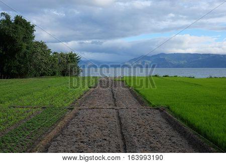 Green rice fields - agricultural indonesian landscape, Samosir Island, Lake Toba, Sumatra, Indonesia