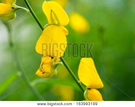 Close up yellow Crotalaria juncea flower or Sunhemp flower (selective focus)