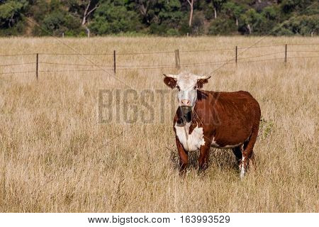 Brown And White Cow Portrait