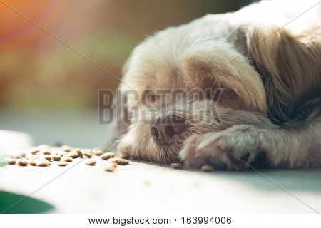 Closeup of Shih-Tzu dog bored with foodeating disorder