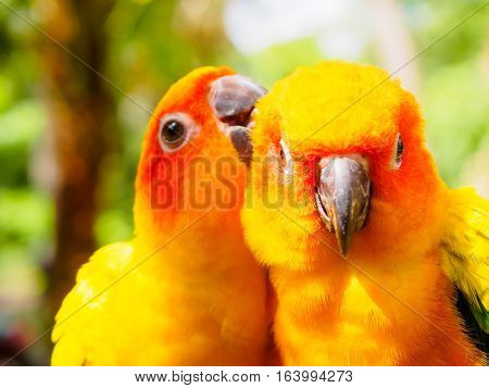closeup head of Sun Parakeet or Sun Conure, the beautiful yellow and orange parrot bird with nice feathers details at Songkhla Thailand