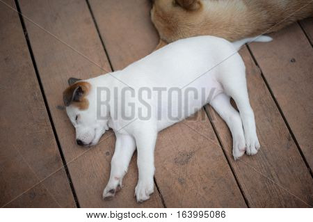 Thai white stray dog sleeping in wood