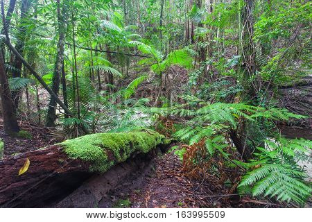 Tropical rainforest on Fraser Island, Queensland, Australia