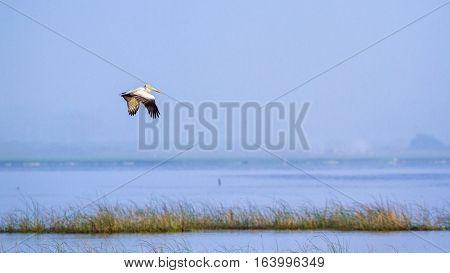 Spotted-billed pelican in Arugam bay lagoon, Sri Lanka ;specie Pelecanus philippensis family of Pelecanidae