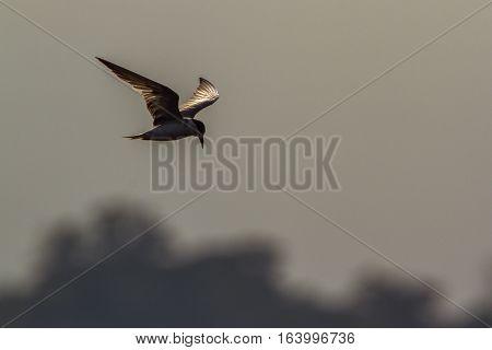 Whiskered tern in Arugam bay lagoon, Sri Lanka ;specie Chlidonias hybrida family of Laridae