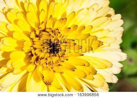 Flower with yellow petals, macro. Floral background. Beautiful yellow flower illuminated by the sun. Floral background suitable for different uses. Photo taken with macro optics.