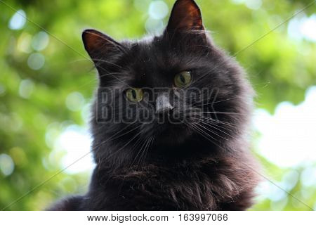 Handsome Long Aired Black Pussycat Watching Intently