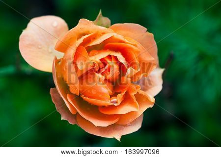 Wet rose flower macro photography. Orange pink colors. A beautiful pink wet water dew rose. Details macro optics. Green background. Concept of love and passion. Valentine and decoration.