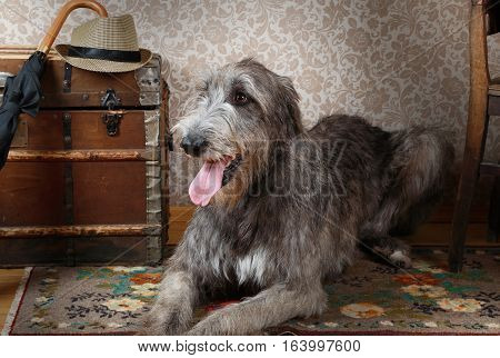 Two years old purebred Irish wolfhound of gray color lying on the floor in the room
