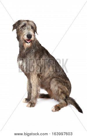 Studio shot of two years old purebred Irish wolfhound dog on a white background