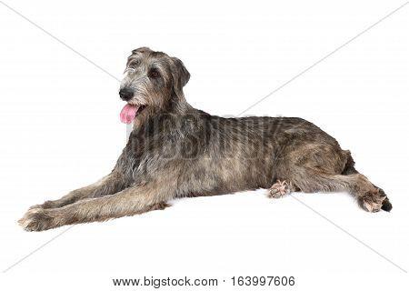 Irish wolfhound dog (two years old) lying on white background