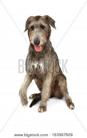 Thoroughbred two years old Irish wolfhound dog isolated on white background