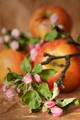 Apples and apple-tree flowers on a beige background poster